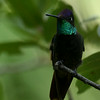Magnificent Hummingbird, Madera Canyon, AZ
