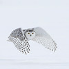 Snowy Owl in a light snow storm.  If you enlarge the photo, you will notice the snow flakes.
