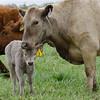 282V & Calf #2, a heifer<br /> Photo May 12, 2015