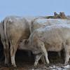 Some calves still nursing, Jan. 4, 2015