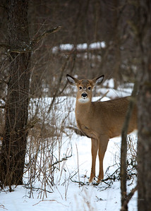 Deer Ottawa 2015 60226 - Version 2