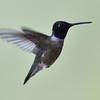 Black-chinned Hummingbird, male, Little Toad Creek Inn and Tavern, Silver City, NM.