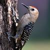 Gila Woodpecker, male, Paton center for hummingbirds, Patagonia, AZ