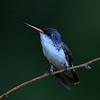 Violet-crowned Hummingbird, Paton center for hummingbirds, Patagonia, AZ