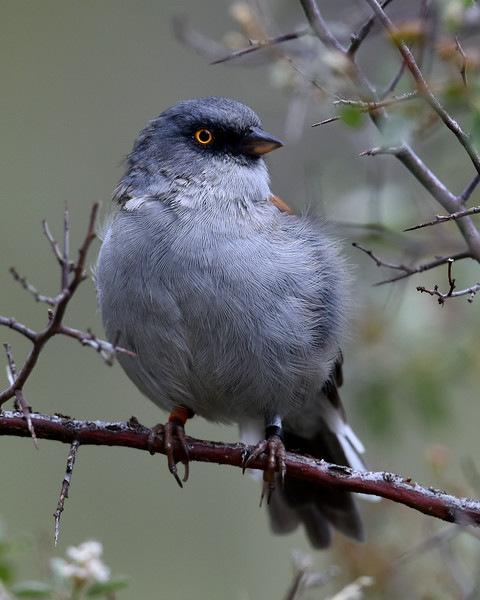 Yellow-eyed Junco, Mt. Lemmon, AZ
