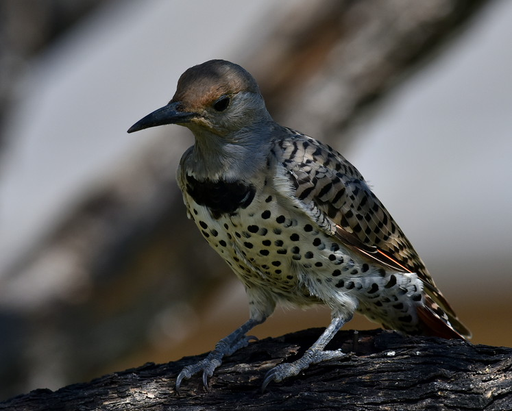 Red-shafted Northern Flicker, Ash Canyon B&B, Hereford, AZ