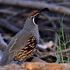 Gambel's Quail, male, Paton center for hummingbirds, Patagonia, AZ