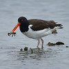American Oystercatcher, Aransas National Wildlife Refuge.