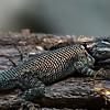 Mountain Spiny Lizard, Miller Canyon, AZ