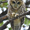 Spotted Owl, immature, Miller Canyon, AZ