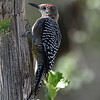 Gila Woodpecker, male, Ash Canyon B&B, Hereford, AZ