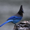 Steller's Jay, Lonesome Duck Ranch, Chiloquin, OR.