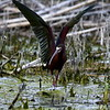 White-faced Ibis, Lower Klamath National Wildlife Refuge