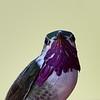 Calliope Hummingbird, male, Little Toad Creek Inn and Tavern, Silver City, NM.