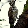Arizona Woodpecker, female Patagonia, AZ