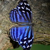 Mexican Bluewing Butterfly