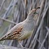 Gambel's Quail, female, Paton center for hummingbirds, Patagonia, AZ