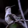 Costa's Hummingbird, female, Tohono Chul Park, Tucson, AZ