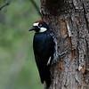 Acorn Woodpecker, Ash Canyon B&B, Hereford, AZ