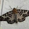 """Pogonopygia nigralbata<br /> Geometridae, Ennominae<br /> <br /> <a href=""""http://www.mothsofborneo.com/.../Boarmiini/boarmiini_4_1.php"""">http://www.mothsofborneo.com/.../Boarmiini/boarmiini_4_1.php</a>"""