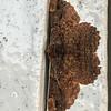 Dasyboarmia subpilosa<br /> Geometridae, Ennominae