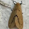 "Erebidae, Arctiinae, Arctiini, Spilosomina<br /> <br /> a ""tiger"" moth"