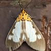 Asota plana<br /> Erebidae, Aganainae