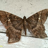 "Geometridae, Ennominae<br /> <br /> Amblychia sp., close to A. infoveata<br /> <br /> <a href=""http://www.mothsofborneo.com/.../Boarm.../boarmiini_22_2.php"">http://www.mothsofborneo.com/.../Boarm.../boarmiini_22_2.php</a>"