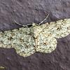 Ectropis sp. close to Ectropis bhurmitra<br /> Geometridae, Ennominae