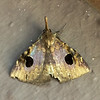 """Erebidae, Hypeninae<br /> <br /> a """"snout"""" moth (though this vernacular name is applied to several other families, depending upon where one is in the world)"""