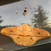 """the big one is an """"emporer"""" moth (family Saturniidae), the smaller one above it is a """"footman"""" moth (Erebidae, Arctiinae, Lithosiini)"""