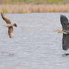 Great Blue Heron chasing a young Gull