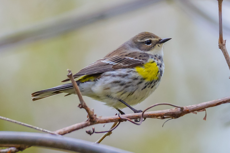 Yellow-rumped Warbler female (Myrtle)