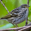 Blackpoll Warbler (female)