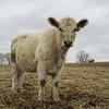 14A's heifer calf, 18 (Feb. 2016)