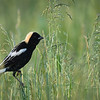 Male bobolink in the pasture, May 30, 2016