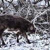 16A's heifer calf, Jan. 3, 2016