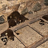 Five young raccoons I found in the barn (where all the barn swallows nest).  May 2016