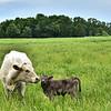 Trillium & heifer calf.  May 2016