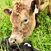 016A & her heifer calf.