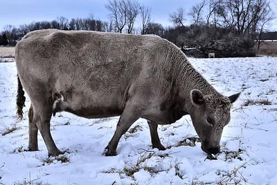2016 Cows