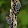 Gila Woodpeckers