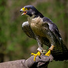 Peregrine Falcon Havoc - Male RC resident since 2005 Permanent wing injury