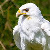 Leucistic White Red-Tailed Hawk Luke - Male RC resident since April 1, 2016 Wing injury Found in Grafton Sept 2013