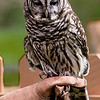 Barred Owl Oliver - Male RC resident since 2003 Permanent wing injury