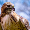 Red-tailed Hawk Calli - Female RC resident since 1998 Permanent eye injury
