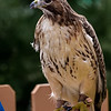 Red-tailed Hawk Aphrodite - Female RC resident since 1997 Permanent wing injury
