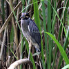 YELLOW-CROWNED NIGHT-HERON - Costa Rica