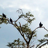 BLACK VULTURE - Belize