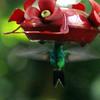 Canivet's or Fork-tailed Emerald Hummingbird - Roatan Honduras